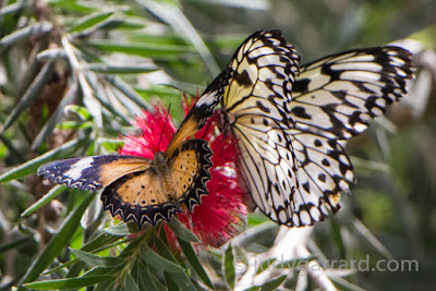 Yellow & Black Butterfly with White & Black Butterfly on a red flower at Butterfly Wonderland