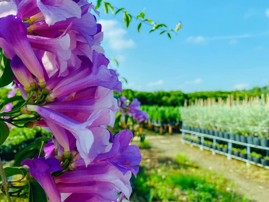 Vườn hoa Lan Tỏi Tím tại Làng Hoa Sa Đéc 5