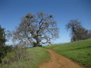 Oak tree with mistletoe, Arastradero Preserve, Palo Alto, California