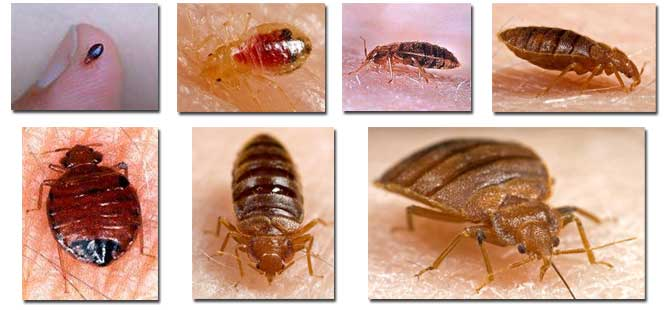 Facts About Bed Bugs Bed Bug Information April 2013