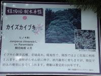 Chinese juniper information - Kyoto Botanical Gardens, Japan