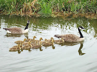 Canada goose parents with goslings in V formation nier Bierton, UK, by David Hawgood , May 2007