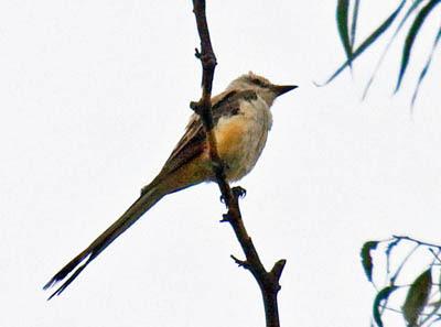 Photo of Scissor-tailed Flycatcher in tree