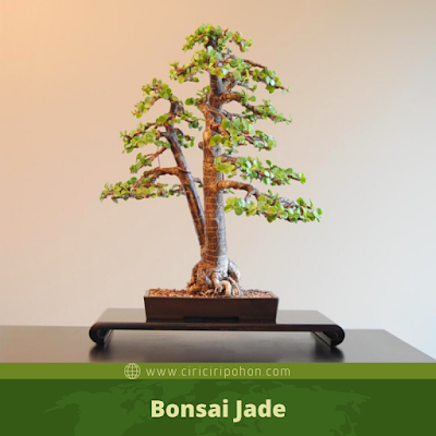 Bonsai Jade