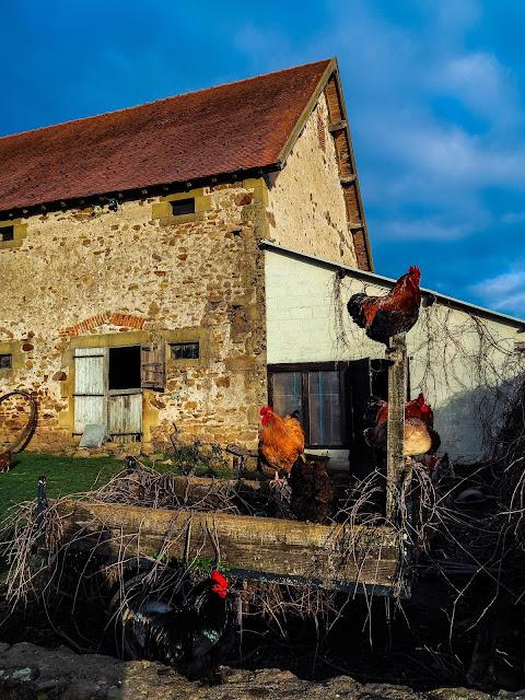 Kippen voor de schuur