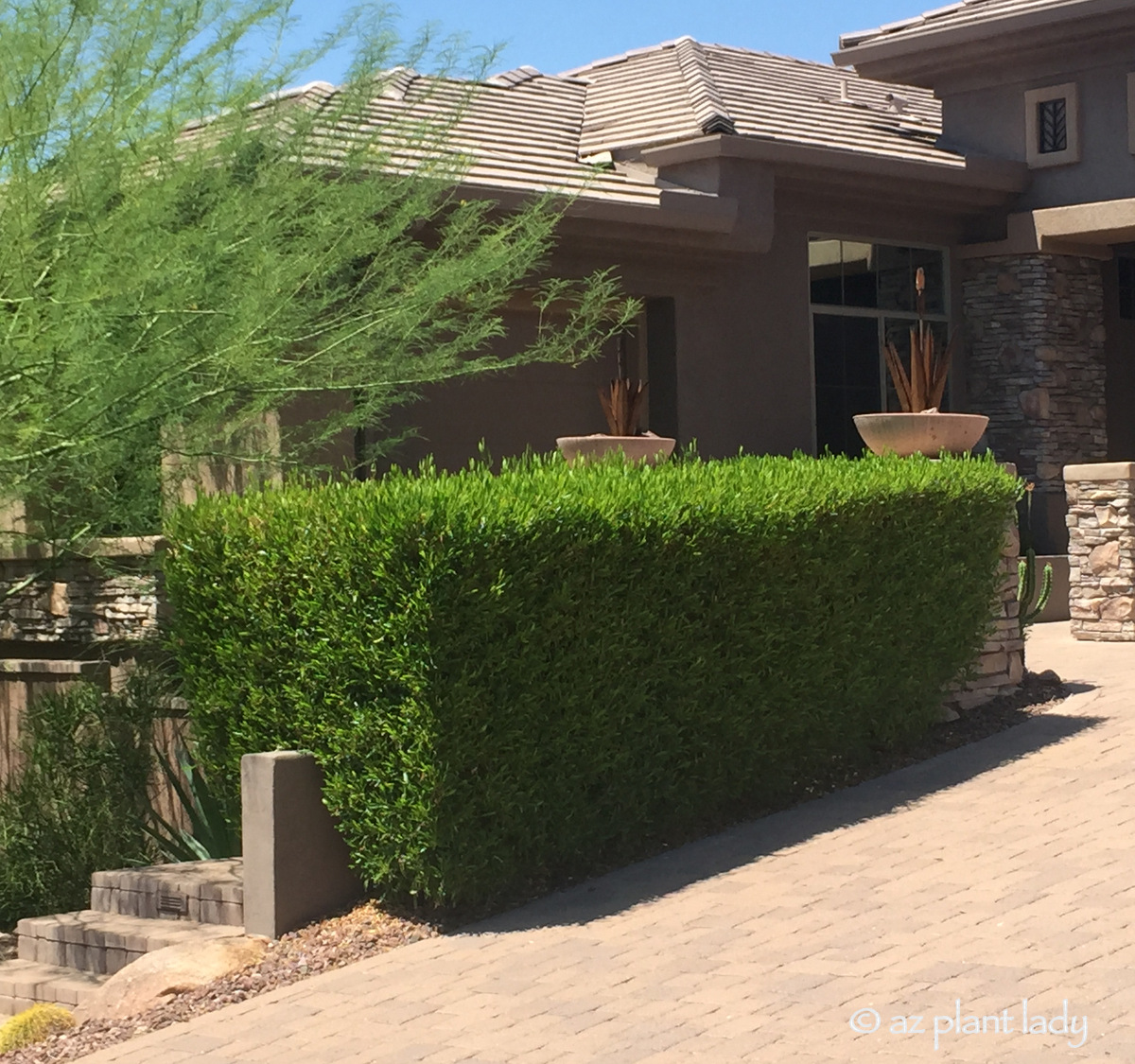 Hedge Bushes: An Attractive, Drought-Tolerant Hedge For Southwestern