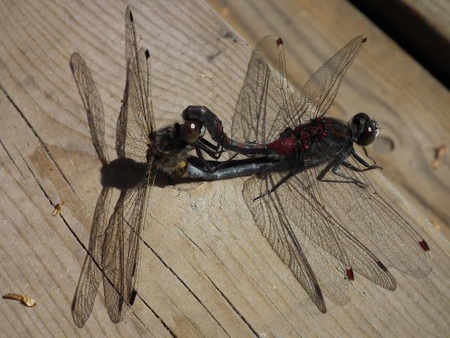 sudenkorennot, lisääntyminen,