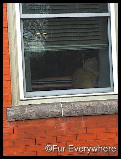 The neighborhood orange cat.