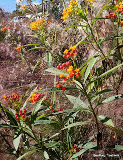 Asclepias curasavica (milkweed) not Ca native (?)