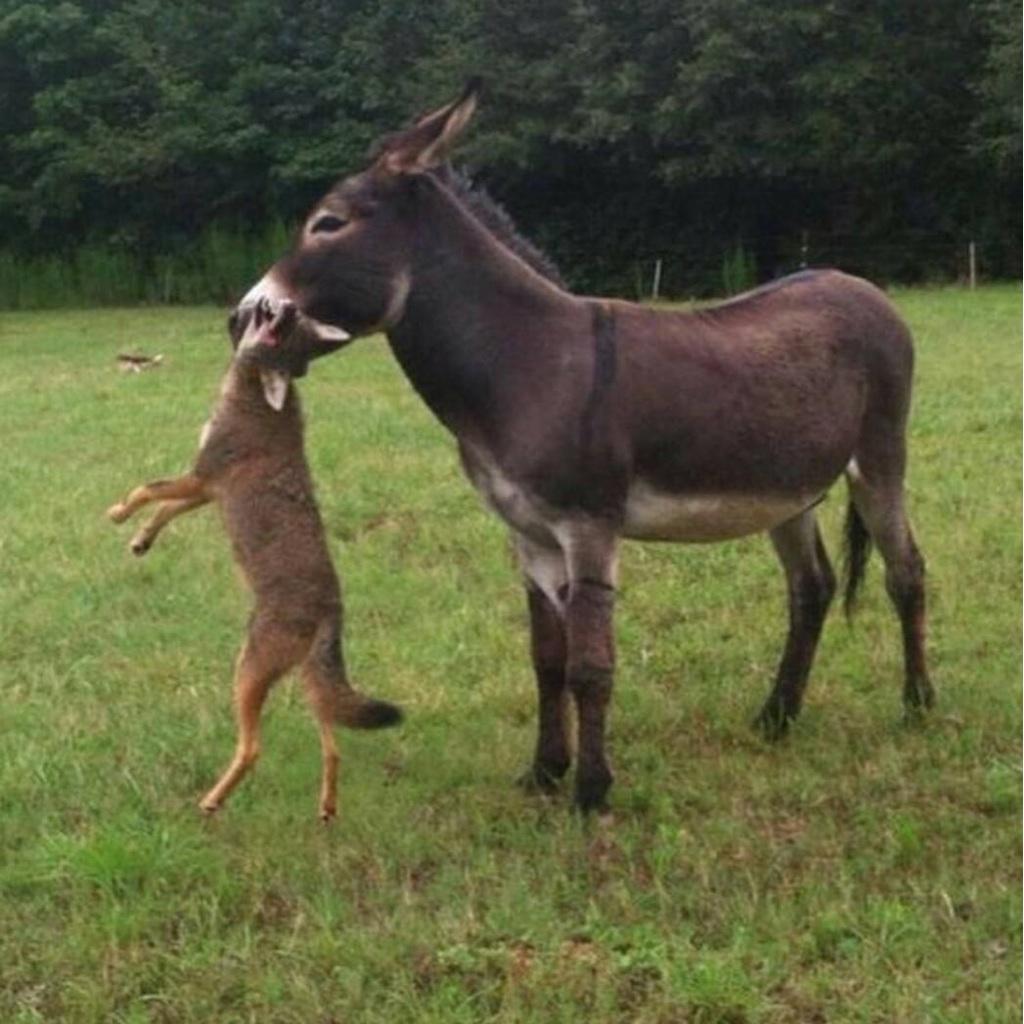 Сторожевой осел загрыз койота, фото фотография животные