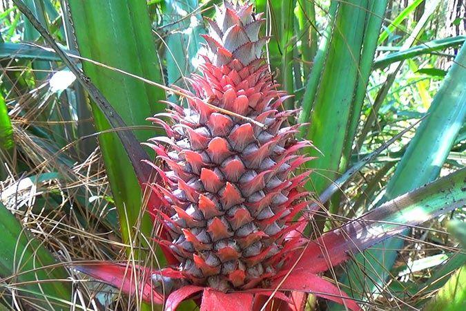 Dlium Pineapple (Ananas comosus)