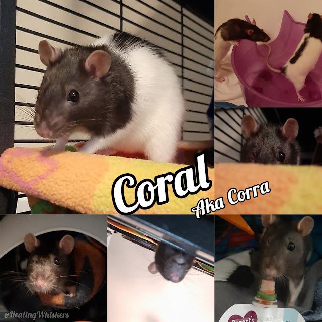 Coral the rescue rat