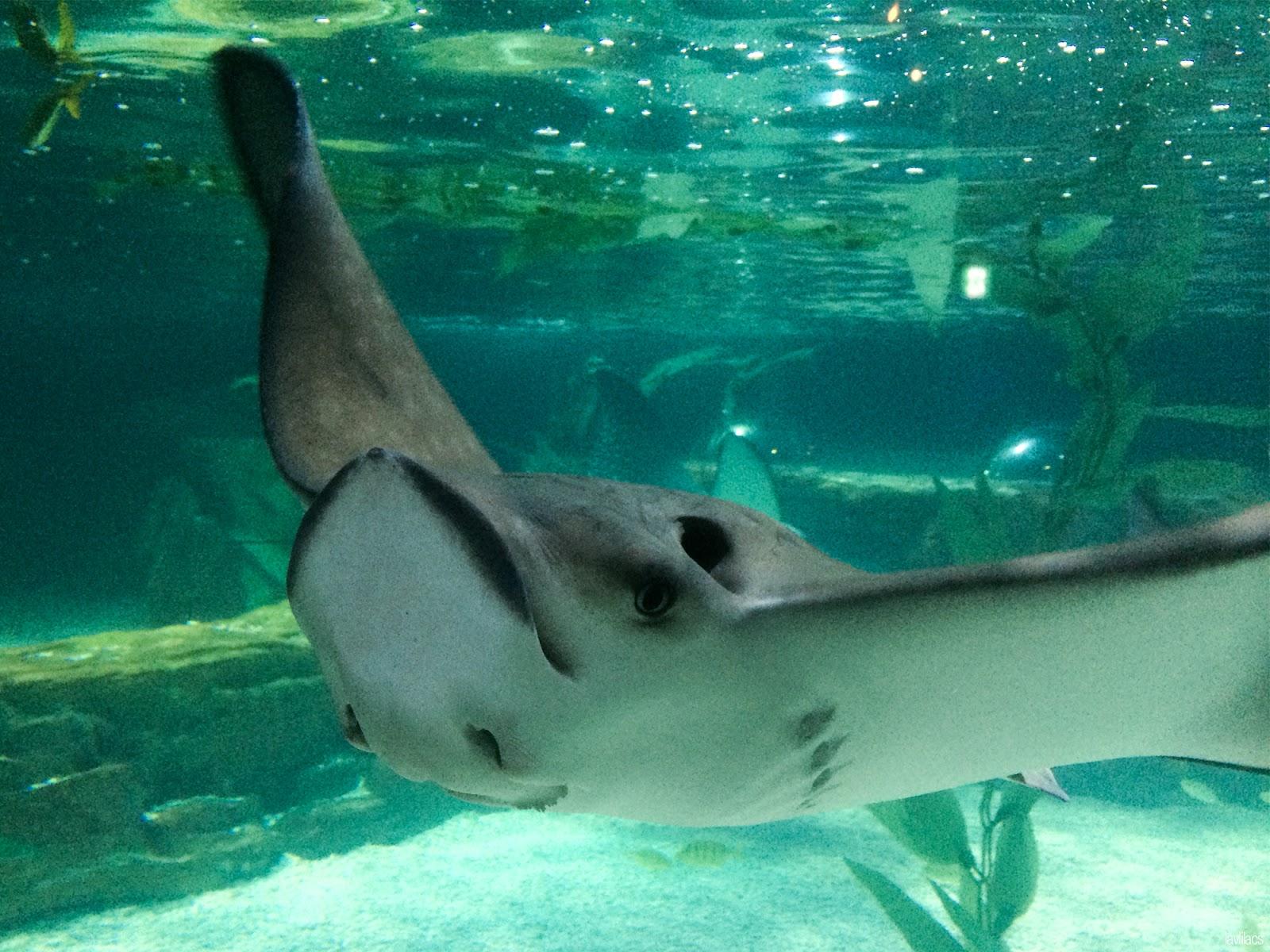 Seoul, Korea - Summer Study Abroad 2014 - Sea Life Busan Aquarium stingray