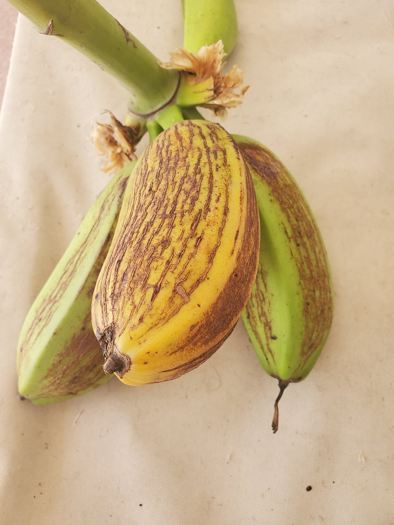 these are tree bananas from florida ripened to baked with and making banana zucchini bread with them
