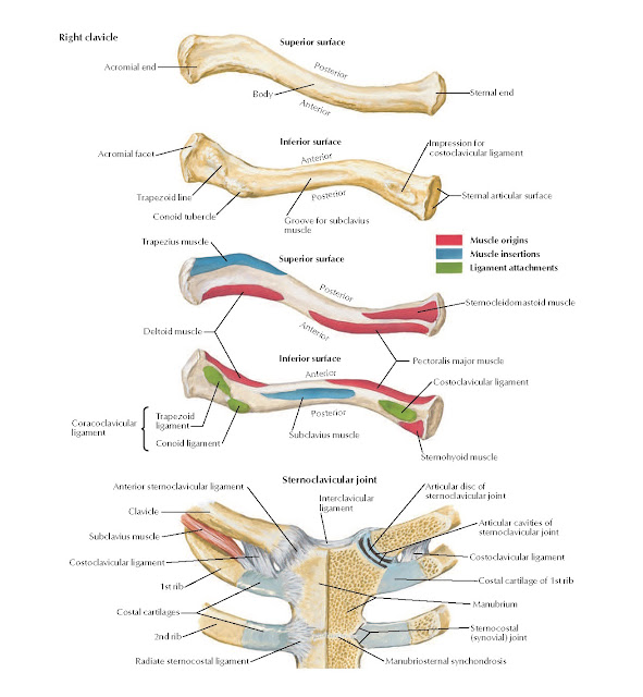 Clavicle and Sternoclavicular Joint Anatomy
