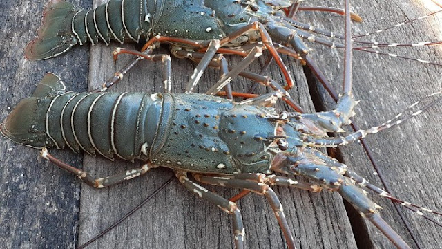 Info Peluang Usaha Budidaya Lobster & Analisa Usahanya