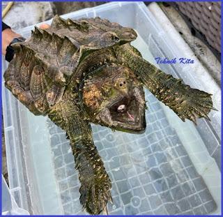 Aligator shell