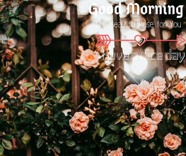 Many white Lovely  Rose Good Morning Images