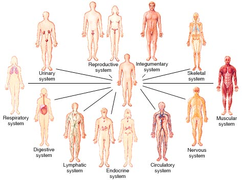 Anatomy Systems of the Human Body