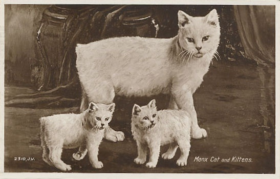 Manx Cat Information:What You Need To Know About This ...  |Manx Cat History