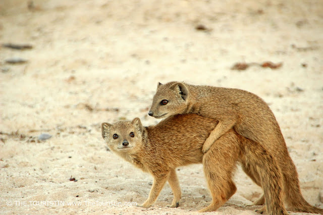 Two yellow mongooses hugging each other, standing on sandy ground.