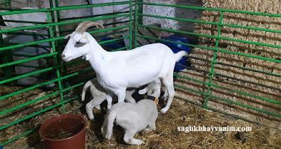 keçilerde şişme hastalığı