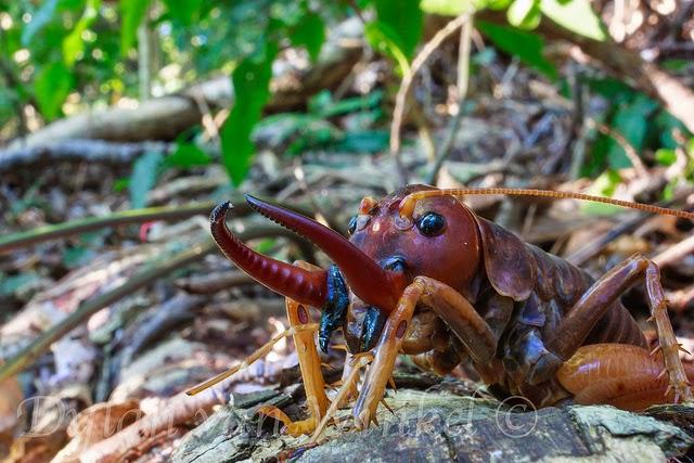 https://bio-orbis.blogspot.com/2014/06/inseto-gigante-salvo-da-extincao.html