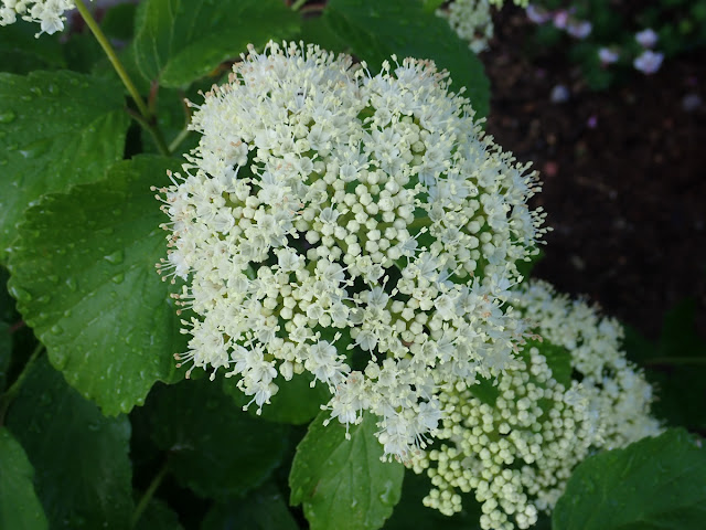 Flower clusters on arrowwood (Viburnum dentatum)