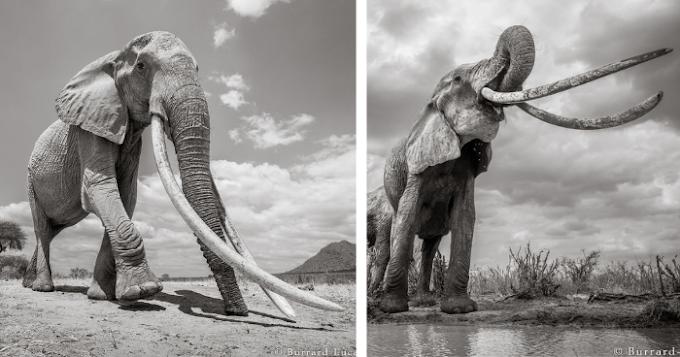 Photographer Captures Final Photos Of The 'Queen Of Elephants' (14 Pics)