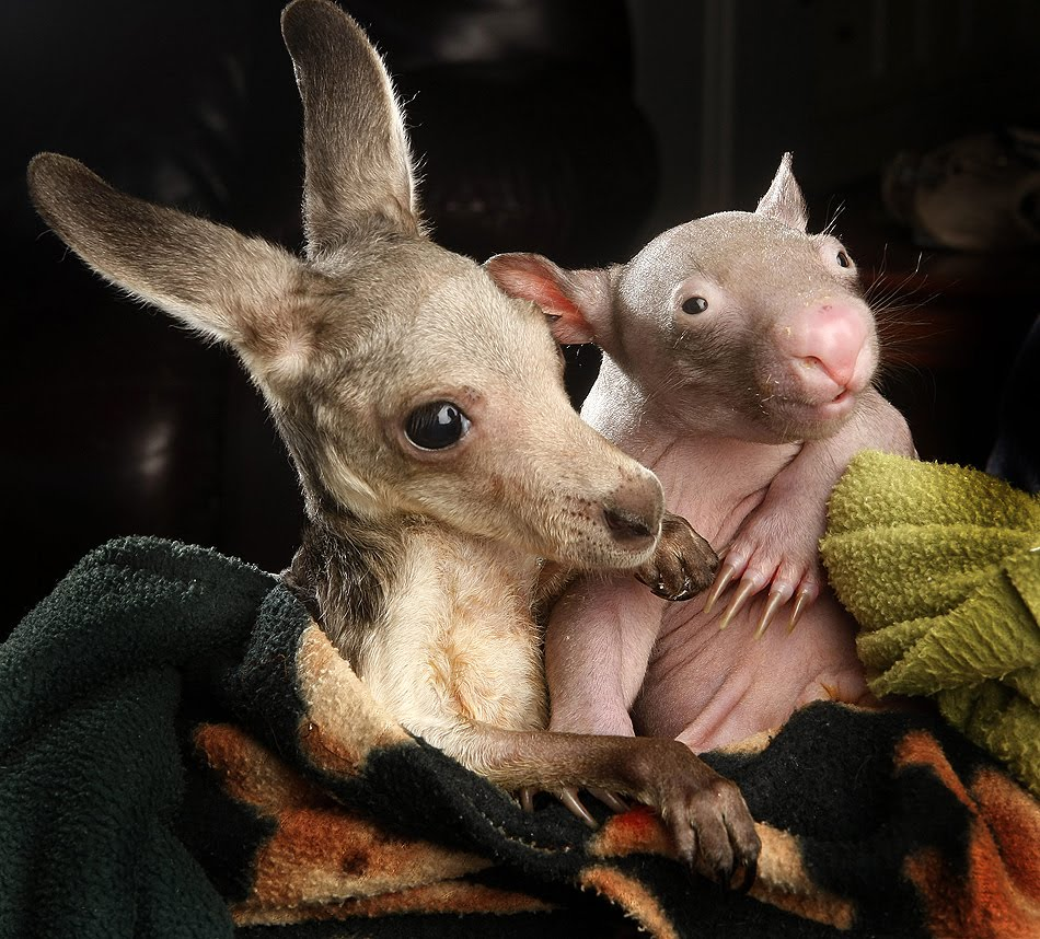 Orphaned Wombat And Kangaroo Are Best Buddies (5 Pics