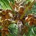 Asal Usul Nama Karambia Di Sumatera Barat