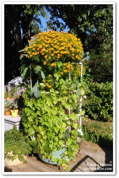The French Marigolds Look Like Theyu0027re On Steroids, As Do The Cucamelon  Vines, Which Are Producing Copious Amounts Of Little Cukes.