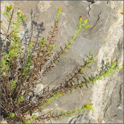Té de risca (té de Aragón o té de roca) en flor