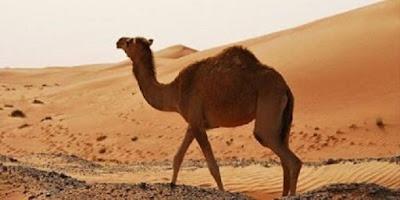 Onta atau Unta Camel - berbagaireviews.com