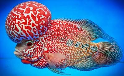 Tanda Ikan Louhan Berkualitas