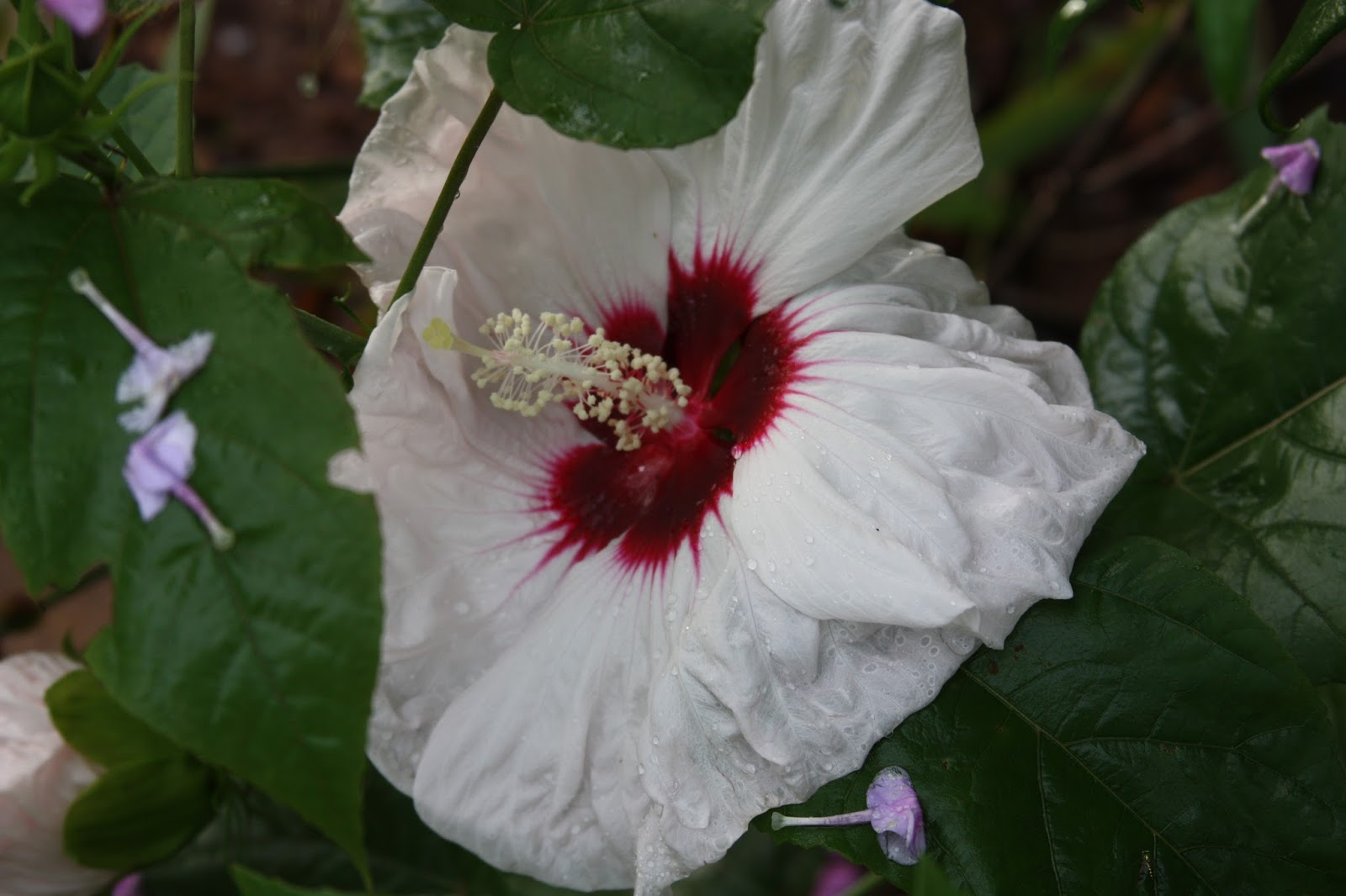 All the dirt on gardening rose of sharon is hibiscus syriacus the native cold hardy hibiscus shrubs are blooming now and are one of the highlights of late summer gardens the large colorful cup shaped flowers shine izmirmasajfo Choice Image