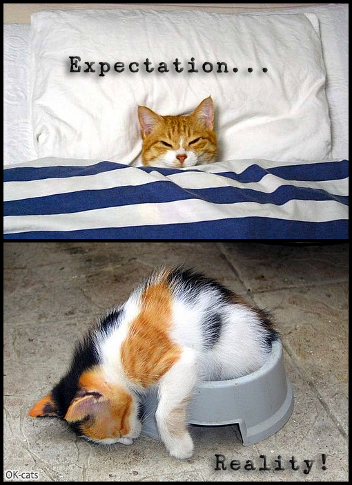 Photoshopped Cat picture • Expectation & reality. Kitten dreams of sleeping in your bed in the future, but presently..