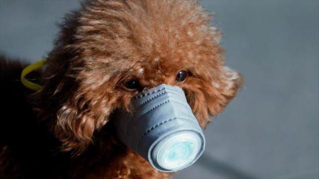 Detectan el primer perro que da positivo por coronavirus