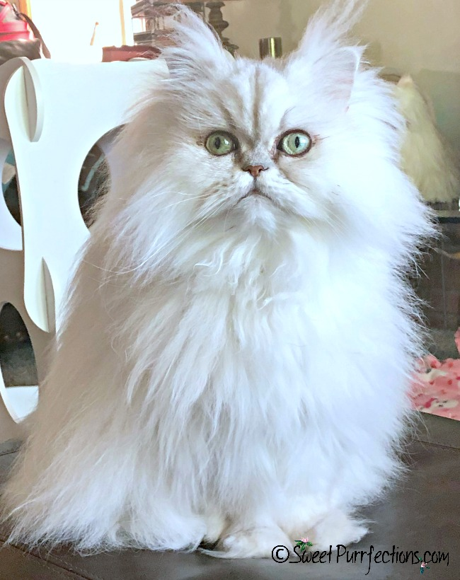 Silver shaded Persian sitting