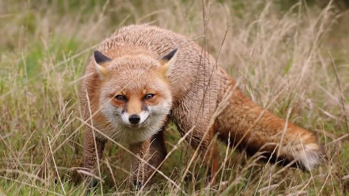 Raposa, Animal, Selvagem, Natureza