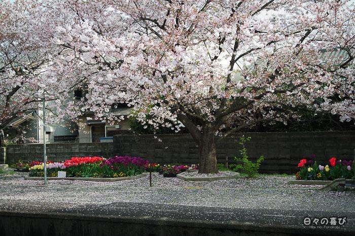 sakura sur le quai, gare ryoan-ji, Kyoto