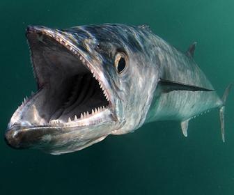 Ikan Tenggiri channel488