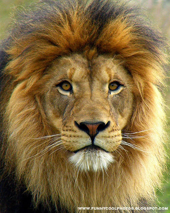 Pics For > Most Beautiful Lion In The World