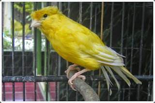 burung kenari betina siap kawin