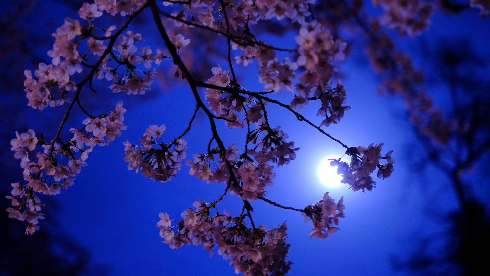 Wallpaper Sakura Tree Moon Night