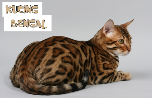Kucing Bengal yang Populer