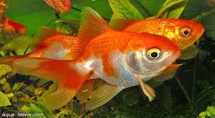 Pelet Ikan Mas Koki Oranda Untuk Mempercepat Pertumbuhan