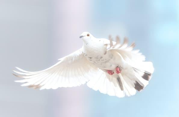 A imagem mostra uma pomba branca batendo as asas. Foto com tons azulados com cinza claro.