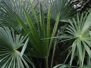Trachycarpus fortunei Mediterranean garden Green Fingered Blog