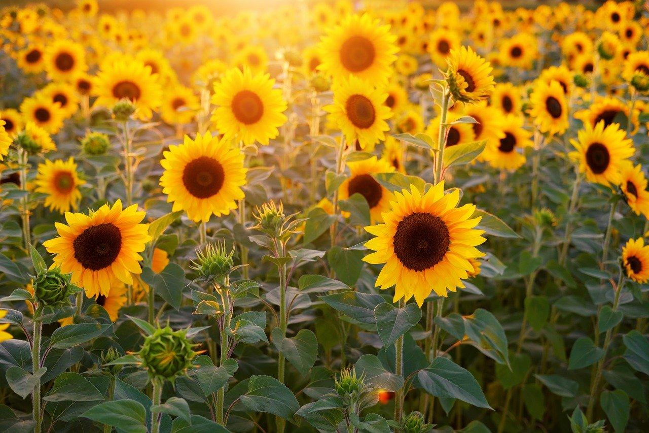 campo de girassóis em holambra no por do sol